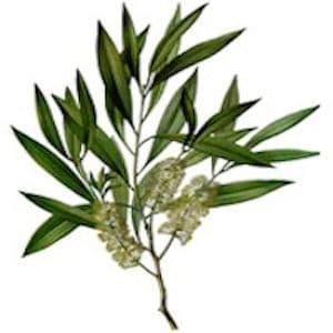 Arbre à Thé - Tea tree *BIO