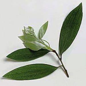 Cajeput - Cajput oil