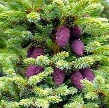 Epinette Noir - Black Spruce Bio/Sauv