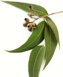 Eucalyptus Globulus Bio*