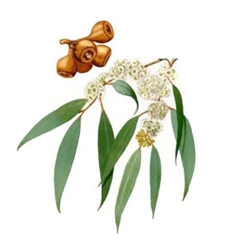 Eucalyptus Radiata Bio*