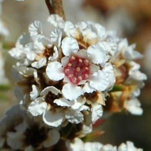 Fragonia Eco
