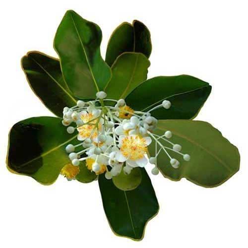Huile Végétale Calophylle Inophyle
