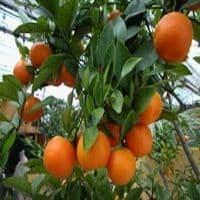Mandarinier Petitgrain Eco