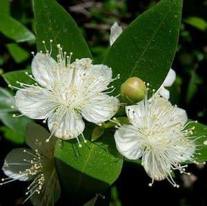 Myrte verte - Green myrtle