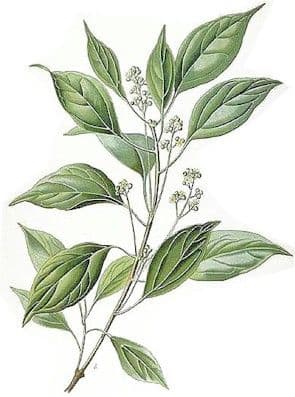Ravintsara Bio* - Ho oil, Shui