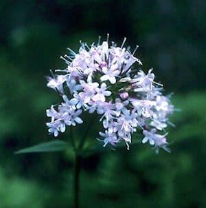 Valeriane officinalis