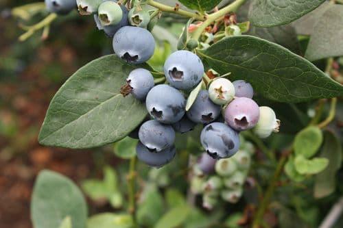 Blueberry Ozarkblue 3 litre