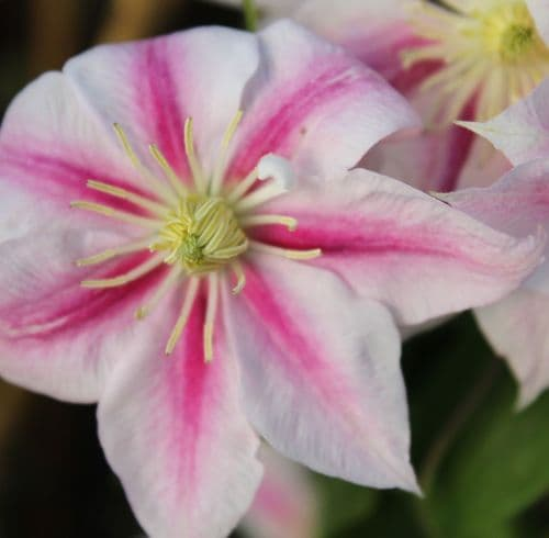 Clematis Andromeda x 3 Litre