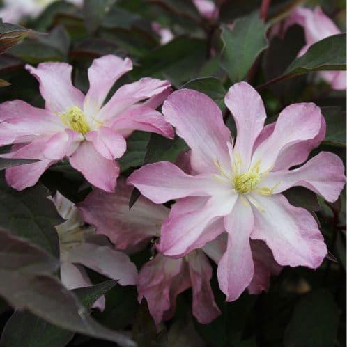 Clematis montana Rosebud x 3 Litre