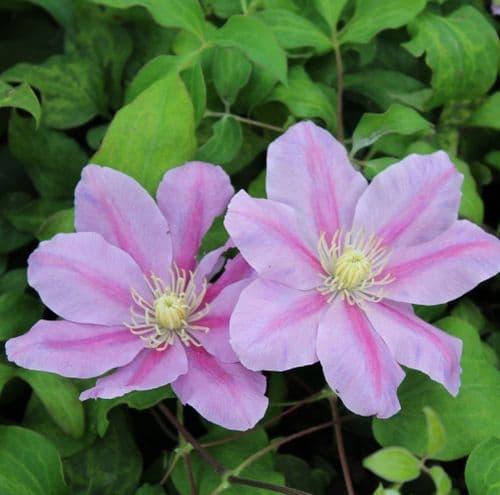 Clematis Pink Beauty x 3 Litre