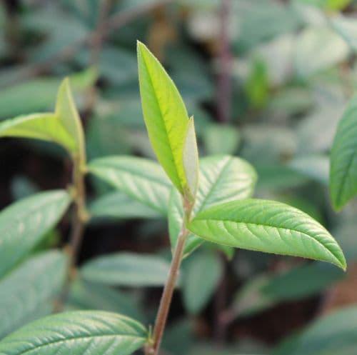Cotoneaster Cornubia x 3 Litre