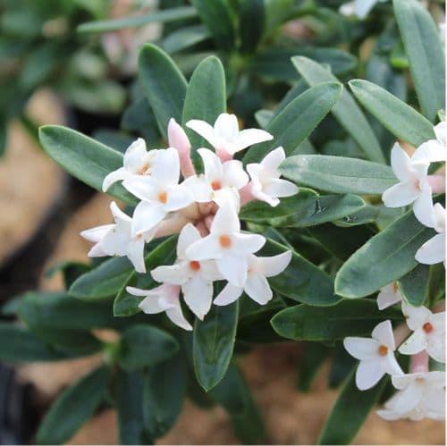 Daphne Eternal Fragrance