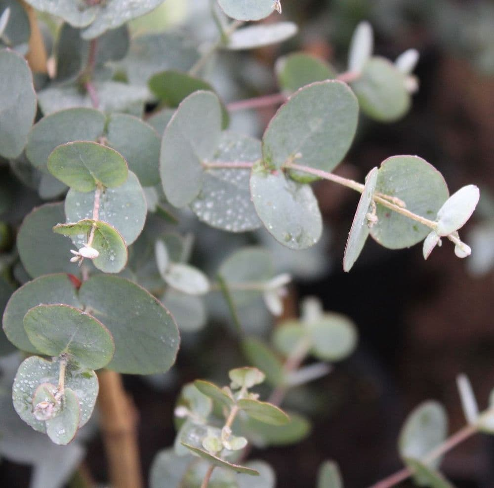 Eucalyptus gunnii 3 Litre