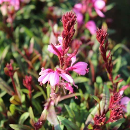 Gaura Siskiyou Pink x 3 Litre
