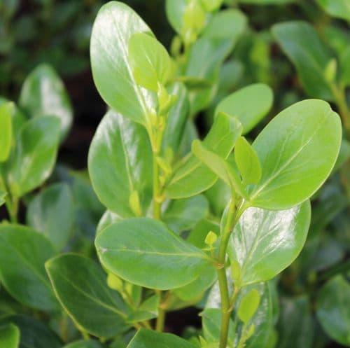Griselina littoralis Green Horizon x 3 Litre
