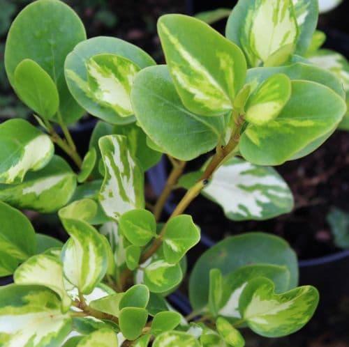 Griselinia littoralis Brodick Gold x 3 Litre