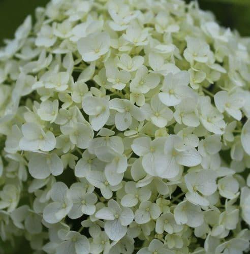 Hydrangea arborescens Annabelle x 3 Litre