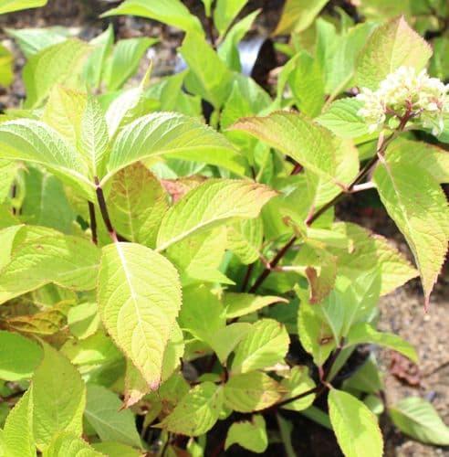 Hydrangea macrophylla So Long Ebony x 3 Litre