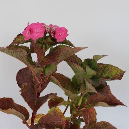 Hydrangea macrophylla Teller Pink x 3 Litre
