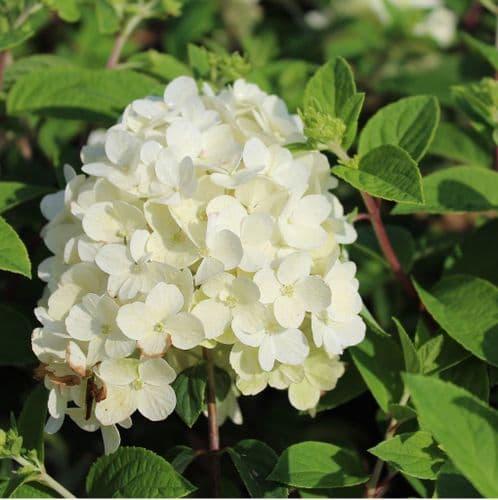 Hydrangea paniculata BoBo 3 Litre