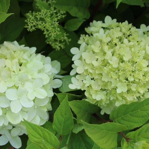 Hydrangea paniculata Limelight x  3 Litre