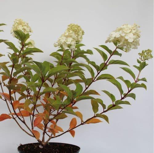 Hydrangea paniculata Polar Bear x 3 Litre