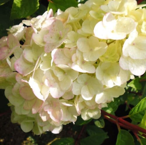 Hydrangea paniculata Sundae Fraise x 3 Litre