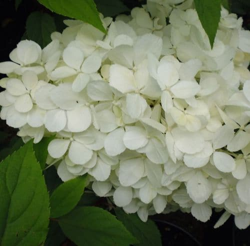 Hydrangea paniculata Vanille Fraise  x 3 Litre