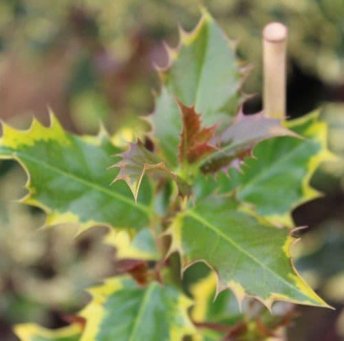 Ilex aquifolium Madame Briot x 3 Litre