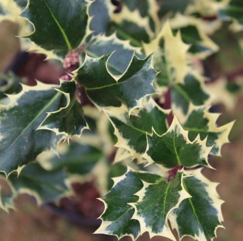 Ilex aquifolium Silver Queen x 3 Litre