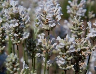 Lavandula (Lavender) angustifolia Arctic Snow x 2 Litre
