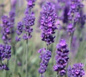 Lavandula (Lavender) angustifolia Hidcote x 2 Litre