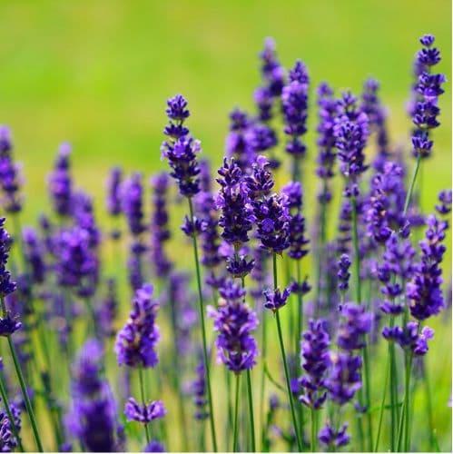 Lavender Vera x  2 Litre