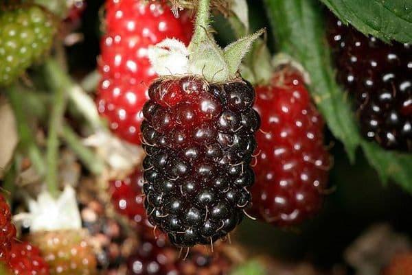 Loganberry x 2 Litre