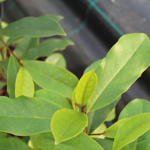 Magnolia Fairy Blush x 3 Litre
