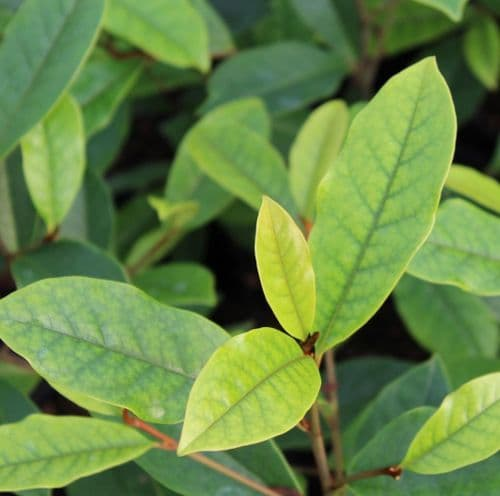 Magnolia Fairy Cream x 3 Litre