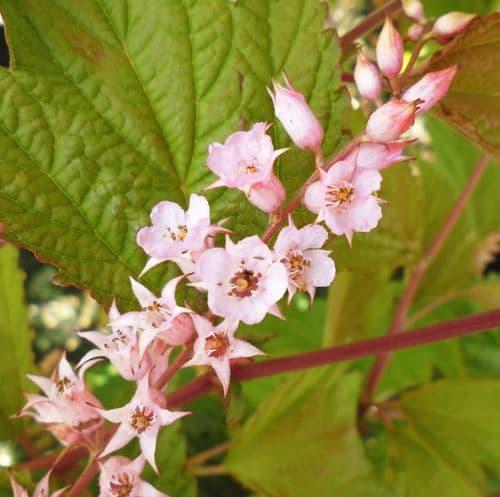 Neillia thibetica x 3 Litre