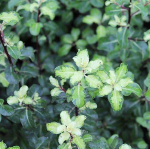 Pittosporum tenuifolium Coxhill Gold x 3 Litre