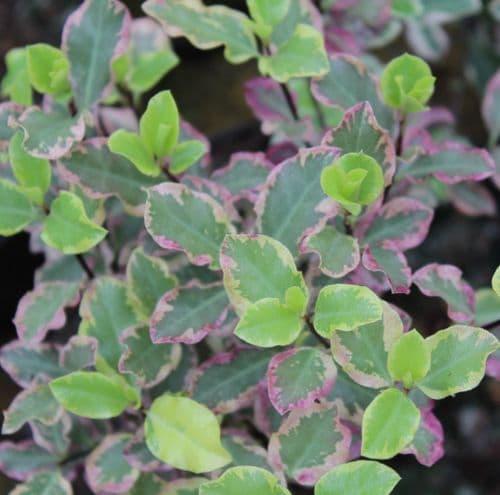 Pittosporum tenuifolium Garnettii x 3 Litre