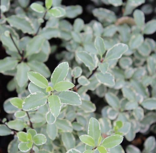 Pittosporum tenuifolium Silver Queen x 3 litre