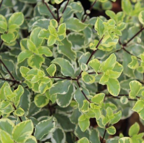 Pittosporum tenuifolium Variegatum x 3 Litre