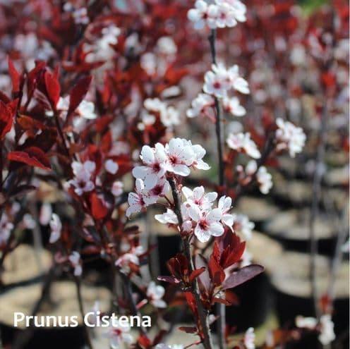 Prunus x cistena x 3 Litre