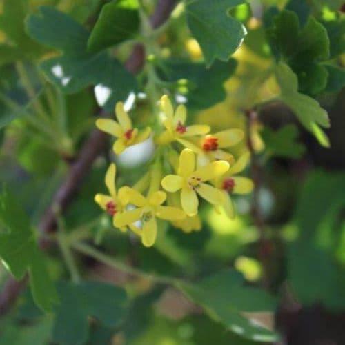 Ribes odoratum 3 Litre