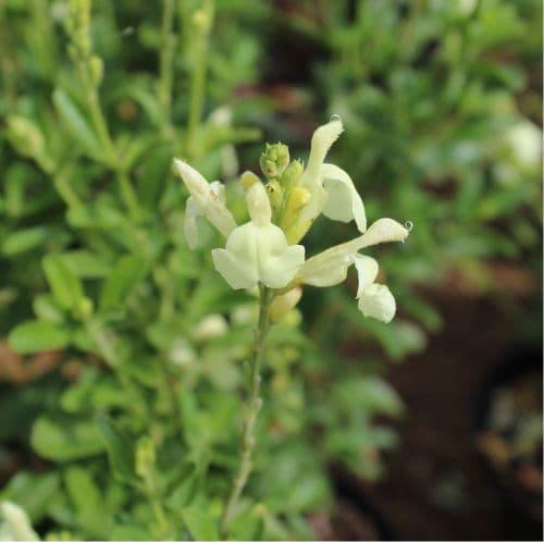 Salvia Clotted Cream x 2 Litre