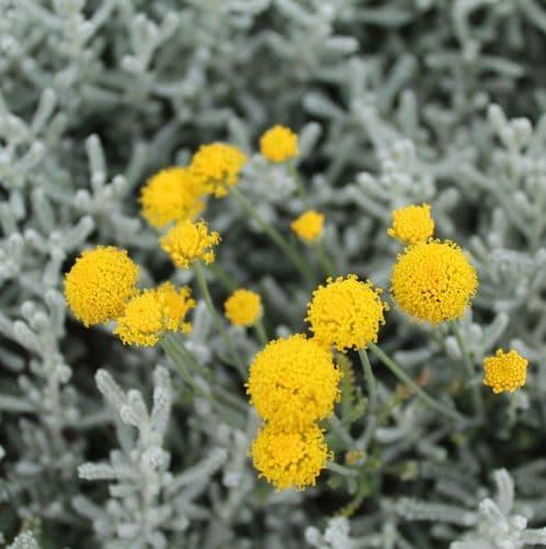 Santolina chamaecyparissus x 3 Litre