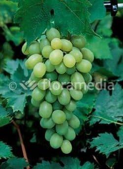 Vitis Pinot Blanc 3 Litre (3ft triple cane)
