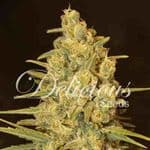 60 Day Automatic  Feminized - DNA Genetics Seeds