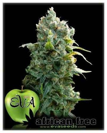 Africa Free - Feminized - Emmerald Triangle Seeds