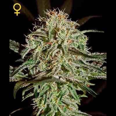 AMS - Feminized - Greenhouse Seeds